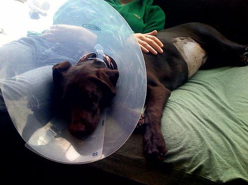 en este sentido es el dolor el que le indica a un perro a mantenerse ...