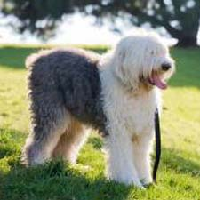 old_english_sheepdog_dogster
