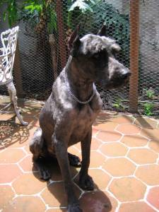 Este perro debería pesar 38 kg. Recien rescatado pesaba 18.