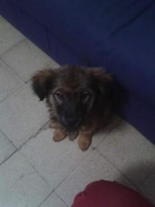 noid-cachorrita-de-collie-cruza-2-meses-cambio-venta_MLM-F-4015384349_032013
